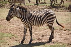 Animals 007 zebra. Manyara Lake, Tanzania Royalty Free Stock Photo