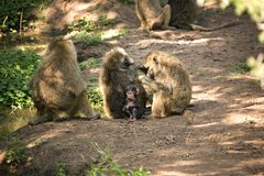 Animals 013 monkey Royalty Free Stock Photo