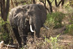 Animals 014 elephant. Manyara lake Stock Image