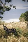 Animals 022 zebra. Ngorongoro park Royalty Free Stock Photo