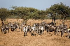 Animals 029 zebra. Many Stock Photo