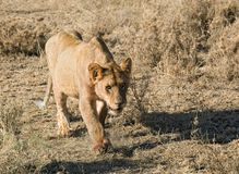 Animals 032 lion. Serengeti park Stock Photo
