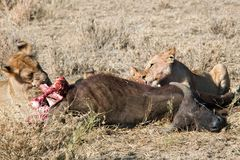 Animals 036 lion. S after hunt eating buffalo Stock Photos