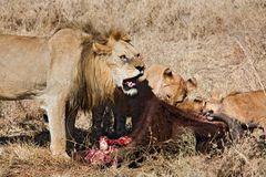 Animals 040 lion. Family after hunt Stock Images