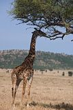 Animals 046 giraffe. Under tree Royalty Free Stock Photography