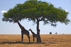 Animals 049 giraffe. Giraffes under tree Royalty Free Stock Image