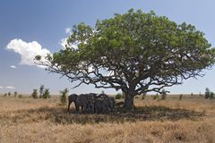 Animals 050 elephant. Under tree Royalty Free Stock Images
