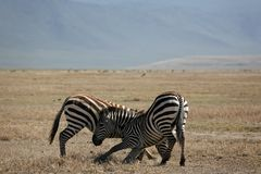 Animals 060 zebra. Ngorongoro park Royalty Free Stock Photography