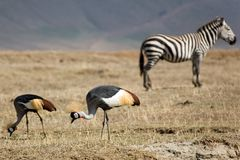 Animals 064 grey crowned crane. And zebra Royalty Free Stock Images