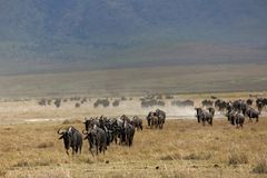 Animals 071 wildebeest. Animals wildebeest Royalty Free Stock Photography