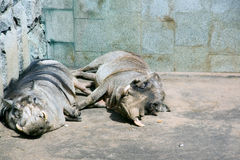 Animals. In zoo sleep on the sun in the cage Stock Photography