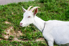 Animals. House white goat on a pasture with a grass Stock Photo