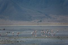 Animals. Flamingo Royalty Free Stock Photos
