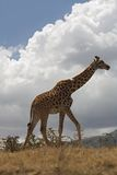 Animals. Giraffe Royalty Free Stock Image