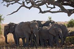 Animals. Elephant under tree Stock Photos
