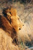 Animals. Old lion Royalty Free Stock Photography