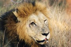 Animals. Old lion Royalty Free Stock Image