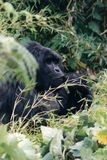 Animals. Mountain gorilla Stock Images