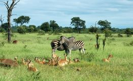 Animals of Africa. Zebra and Impala Antelope in tropical Africa Stock Photo