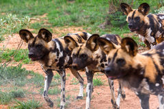 Animals in Africa. Wild Dog at the Lioness portrait  at the Naankuse Wildlife Sanctuary, Namibia, Africa Stock Photos