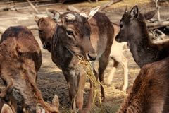Animals afternoon  animal  animals  attraction  bulgarian  cage  cut  deer  eats  hay  horns  in  mammal  mammals Stock Photos