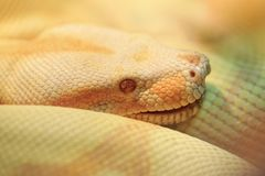 Albino Indian python Royalty Free Stock Photography