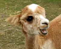 Animals - Alpaca Royalty Free Stock Image
