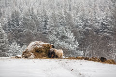 Animals around the hay stacks on a farm in winter. Stock Photo