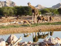 Animals around a water hole in zoo Royalty Free Stock Image