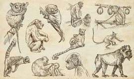 Animals around the World. Monkeys and Apes. An hand drawn full s. Animals - MONKEYS and APES - around the World. Collection of an hand drawn illustrations Stock Photos