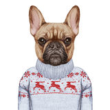 Animals as a human. French Bulldog in down vest and sweater. Royalty Free Stock Photo