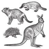 Animals of Australia. Tasmanian devil, Platypus, Wallaby or kangaroo, Echidna. Tasmanian devil, Platypus, Wallaby or kangaroo, Echidna hand drawing set. Animals Royalty Free Stock Images