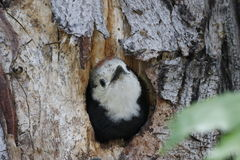 Animals: Baby woodpecker bird in hole Royalty Free Stock Photography