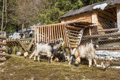 Animals in the barnyard. Goats, sheep, roosters and hens on the barnyard near feeders in the village, farm Stock Photo