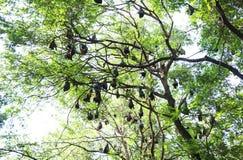 Animals. Bat flying fox is hang on the tree stock image
