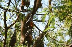 Animals. Bat flying fox is hang on the tree stock photo