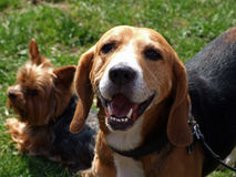 Animals beagle dog Stock Photography