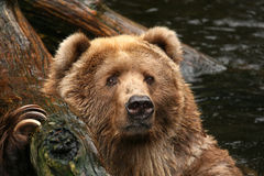 Animals: Bear in the water looking at you Stock Photo