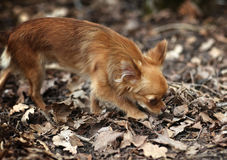 Animals beautiful breed brown canine  cute deep devotion Royalty Free Stock Photos