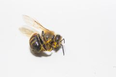 Animals bee Royalty Free Stock Photography