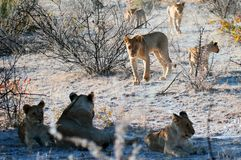 Animals, Blur, Carnivore Royalty Free Stock Images