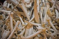 Animals bones Royalty Free Stock Photography