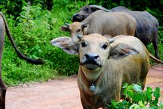 Animals. The buffalo animal in Thailand, its a Mammalia Stock Photography