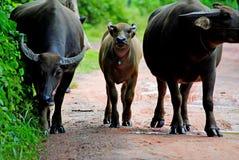 Animals. The Buffalo animal in Thailand, its a Mammalia Royalty Free Stock Photography