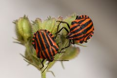 Animals, Bugs, Striped, Red Black Stock Photography