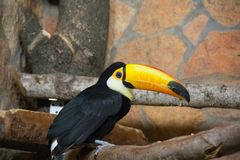 Bird tukan in the zoo, in captivity. A bird with a large bright yellow beak. Royalty Free Stock Photos