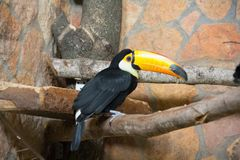 Bird tukan in the zoo, in captivity. A bird with a large bright yellow beak. Stock Photo