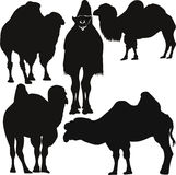 Animals camel vector Stock Photo