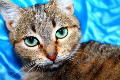 Gray cat on a blue background 2 royalty free stock photos