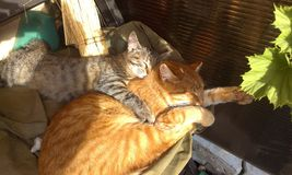Animals cats kitten love pets. Cat with a kitten Royalty Free Stock Photos